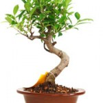 January Bonsai News