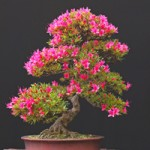 Blooming Bonsai!