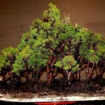 Styles of Bonsai