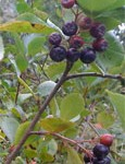Aronia, Great Super Food