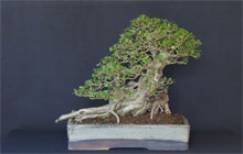 bonsai privet