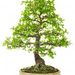 Which bonsai species to start with?