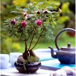 Fuchsia in New Zealand