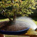 Keeping your bonsai healthy