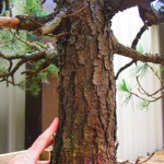 Large-Pine-Size