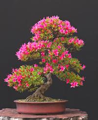 azalea by walter pall