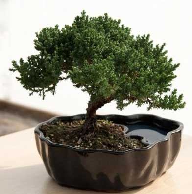 10 Bonsai Tips for American Moms