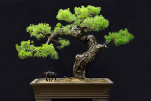 pinebonsai