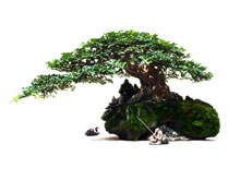 Beginner Bonsai – Juniper