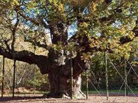 the-major-oak-sherwood