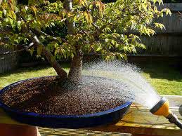 watering-a-bonsai