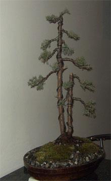 waynes bonsai