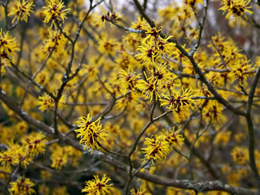 Witch hazels for winter colour