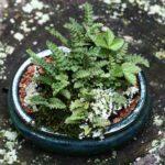 Kusamono_with_fern_and_strawberry