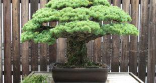 Japanese_White_Pine