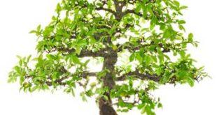 elm_bonsai