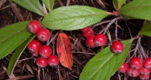 red-chokeberry (c) kldeutschman