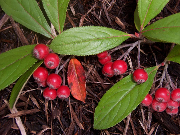 Aronia, A new commercial berry crop for America