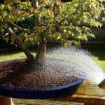 watering-a-bonsai