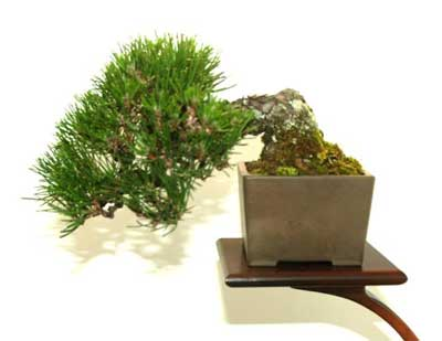 Growing white pine bonsai